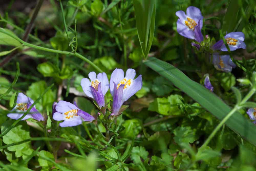 Mazus miquelii flowers