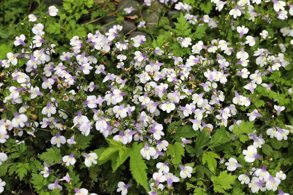 Mazus pumilus flowers