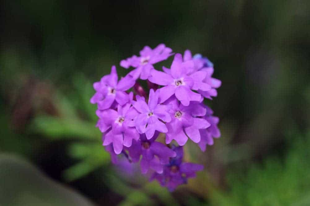 Close-up of moss verbena