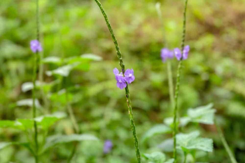 Verbena Simplex species