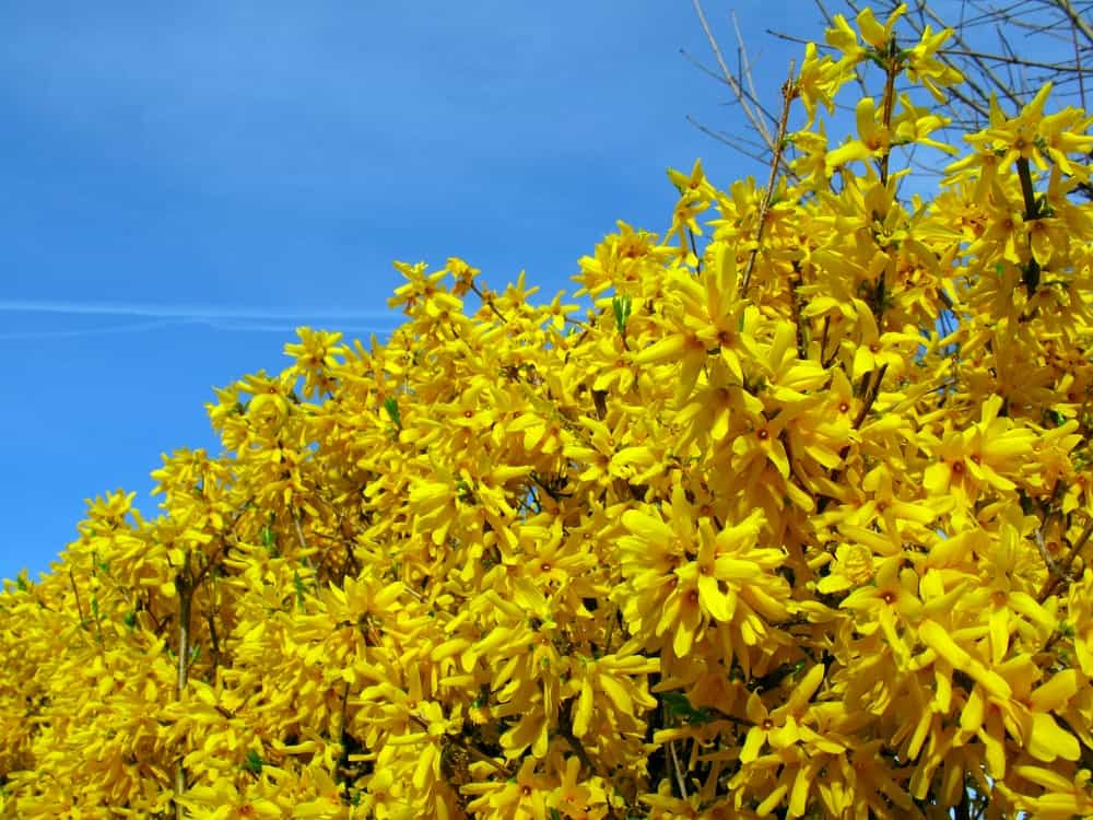 A Bush of Yellow Flowers