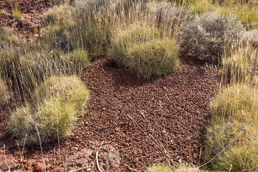 Homes built by pebble-mound mice in Western Australia