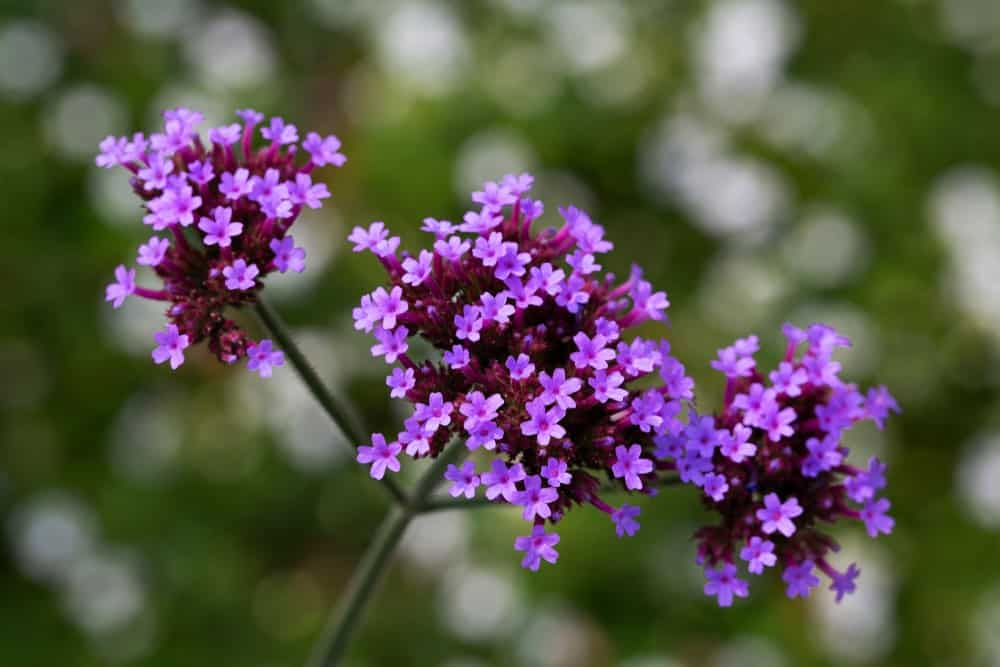 Verbena Bonariensis species