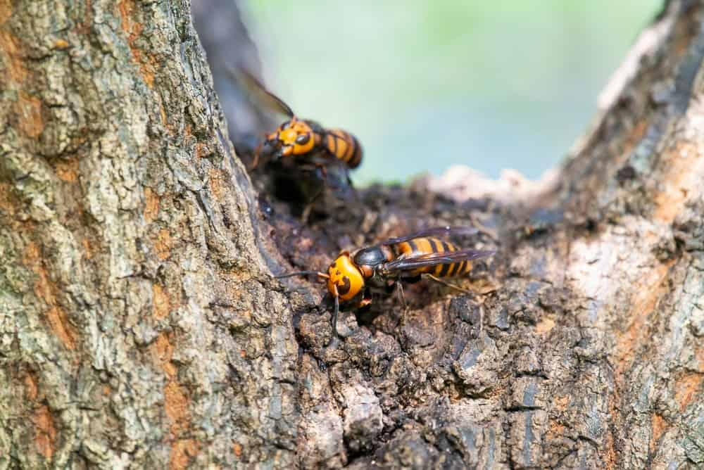 An Asian Giant Hornet makes its nest on a tree trunk