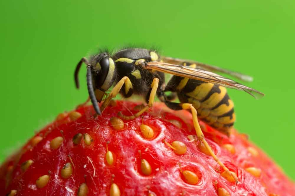 A close-up of the Yellowjacket Wasp on top of a strawberry