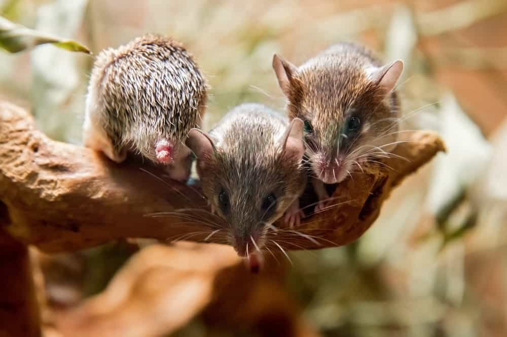 Three mice with spine-like fur on a tree branch