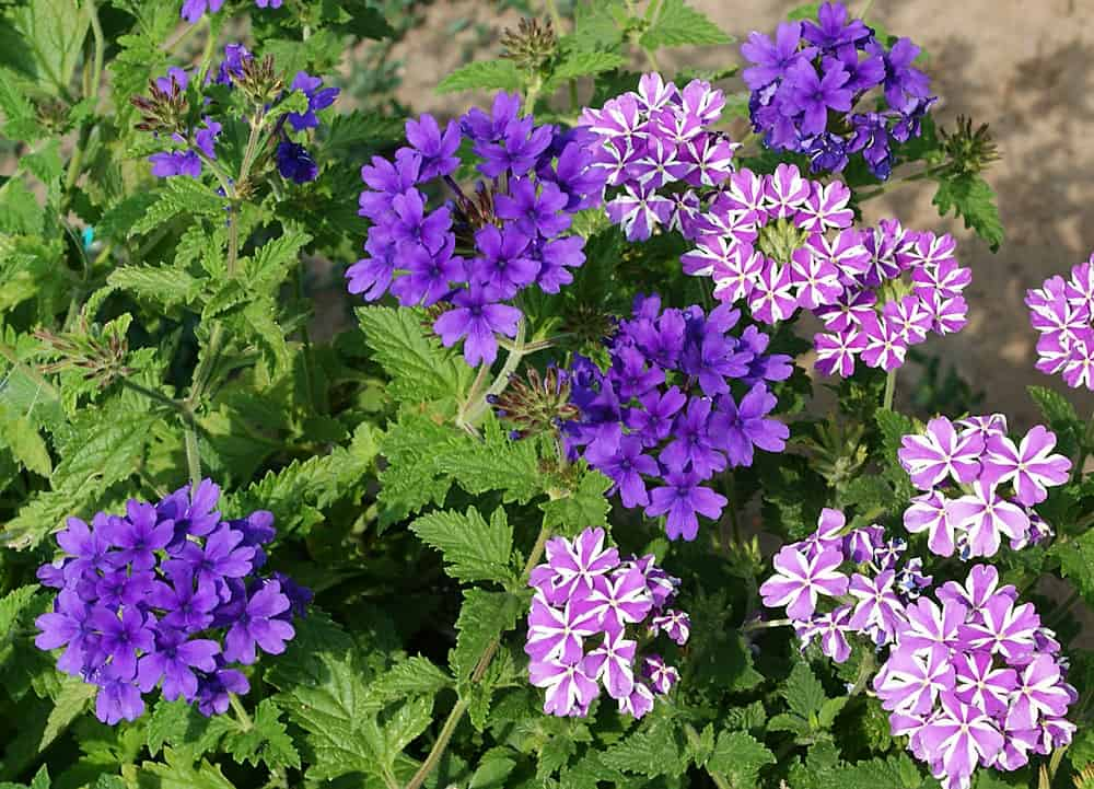 Trailing Verbena flowers