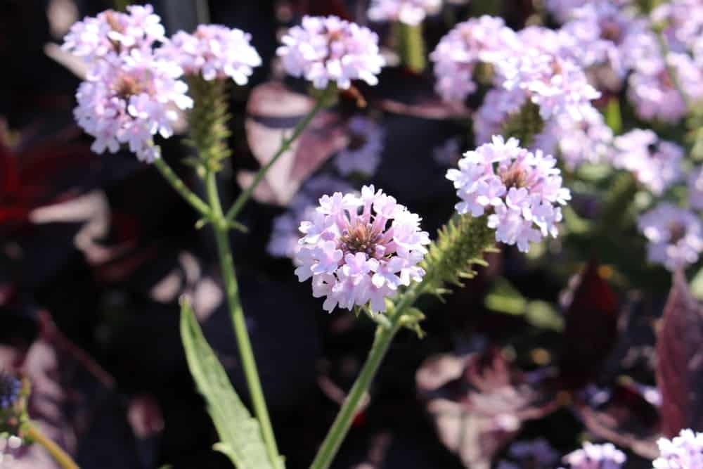 Verbena Rigida species