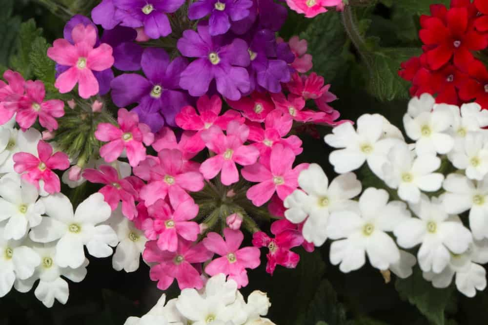 A variety of verbena flowers