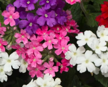Different types of Verbena flowers