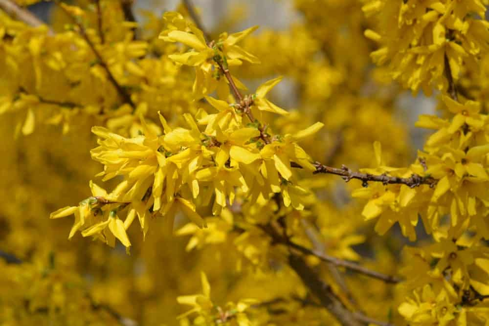 Beautiful Yellow Colored Forsythia Flowers
