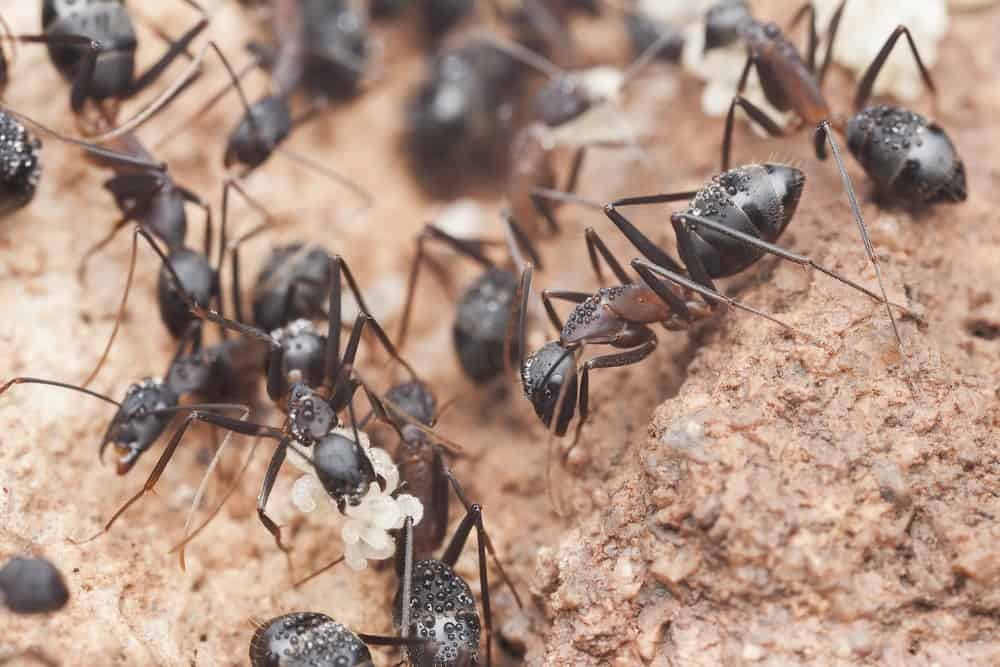 Carpenter Ants in a Group