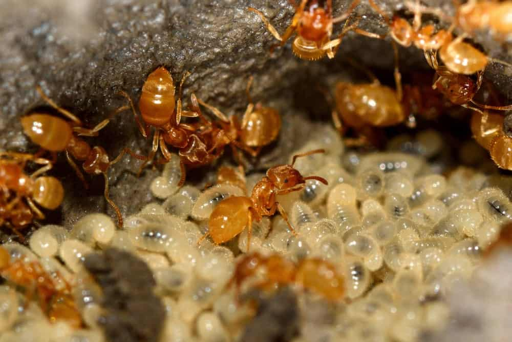 Groups of Yellow Meadow Ants Feeding to Larvae