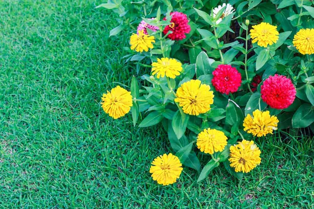 A garden with colorful Zinnia flowers