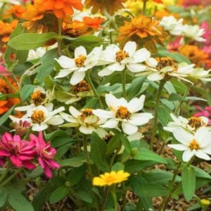 Zinnia flowers spread on grassy floor