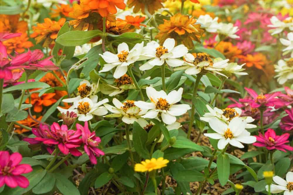 7 Common Types Of Zinnias For Your Garden