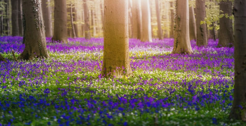 bluebell flowers in a field with big trees