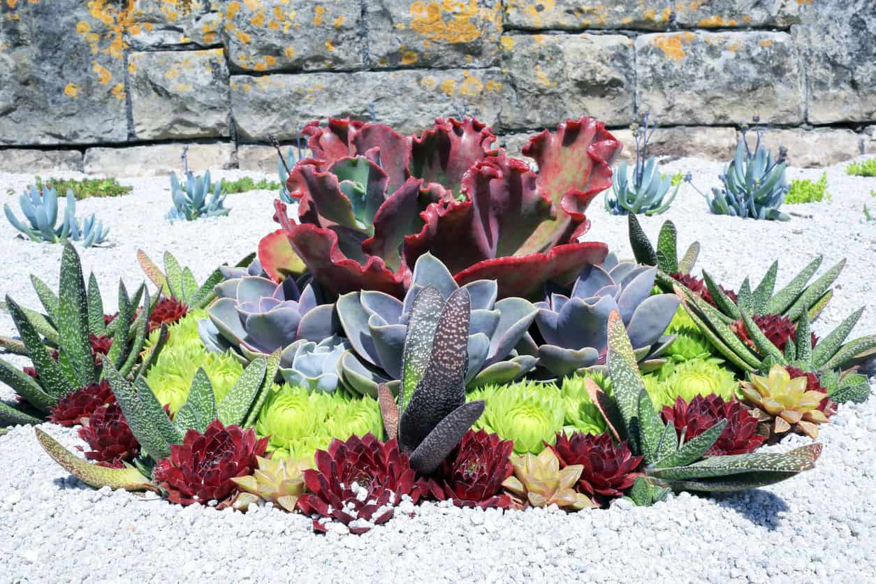 Striking round succulent garden with a variety of green, blue and burgundy colored succulents surrounded by white rocks.