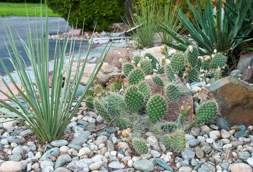Street-side cacti garden among large rocks in front yard.