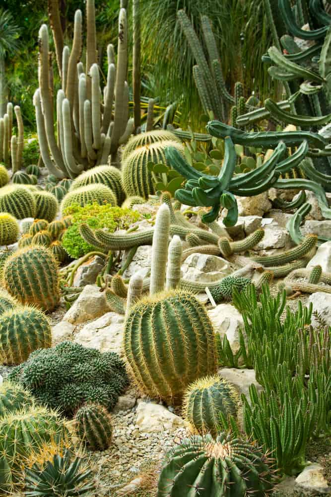 Sprawling cacti garden among large rocks on hillside.