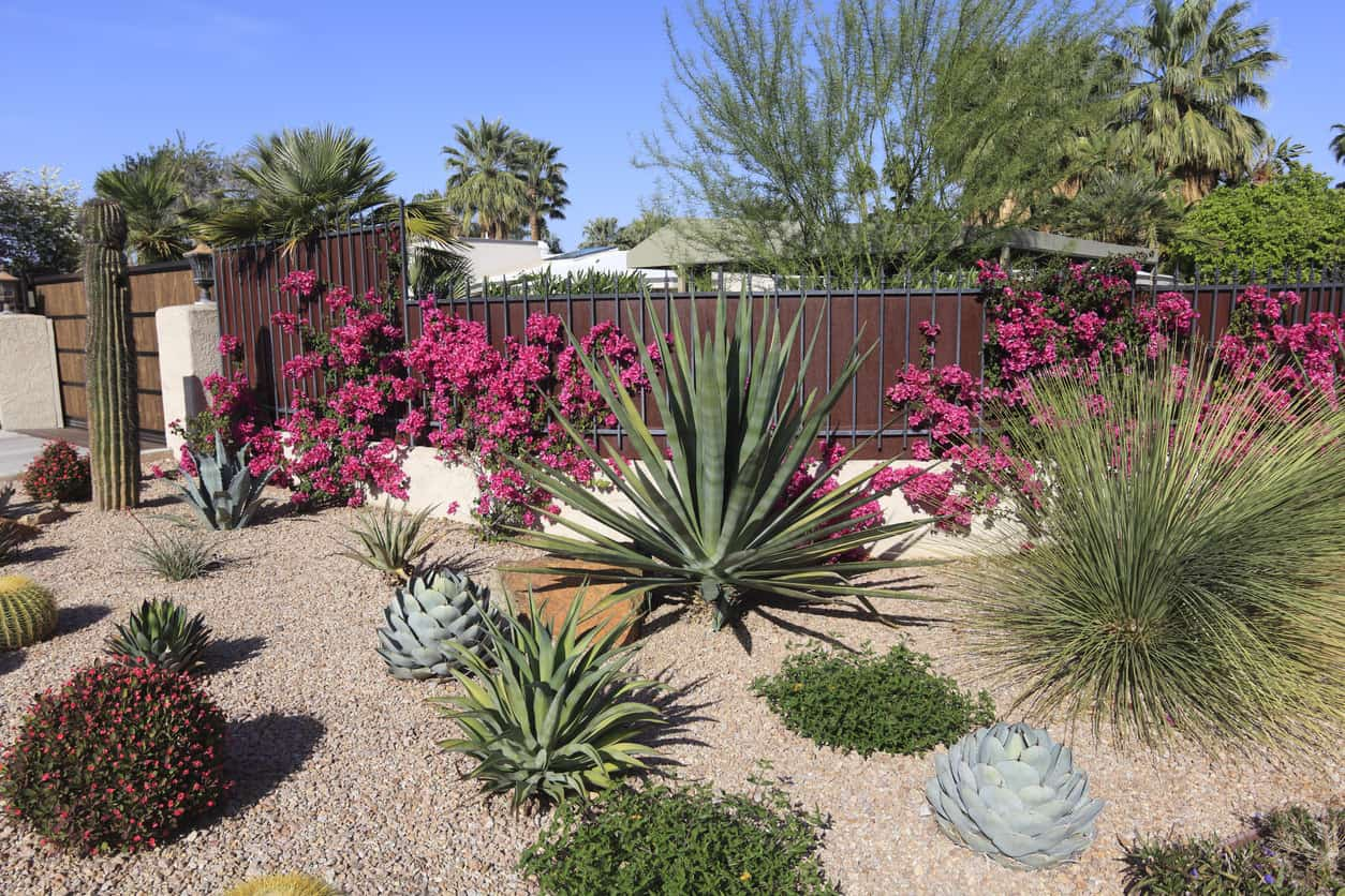 Beautiful xeriscaped residential garden of cactus,succulents ,bougainvillea and other arid perennial plants.
