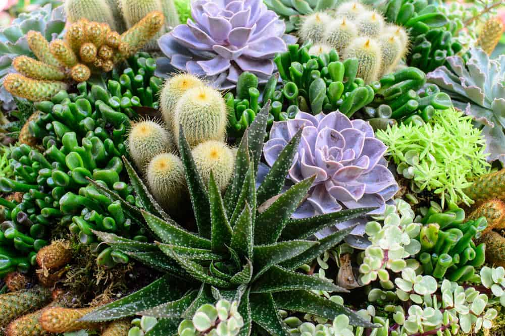Miniature succulent garden with green, yellow and purple colored succulents (includes cacti).