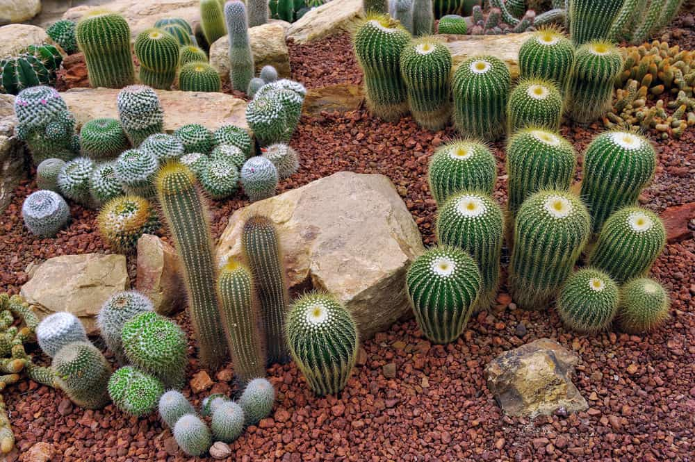 Nicely arranged red rock cacti garden with large rocks interspersed among the cacti.