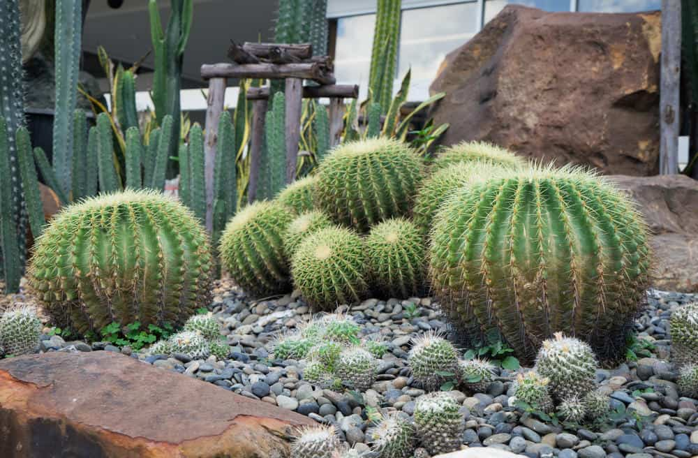 Close up of bulbous cacti in pebble garden.
