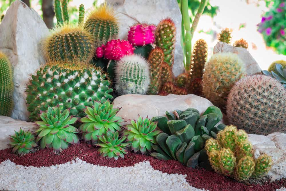 Beautifully arranged miniature succulent garden in and among large white rocks the bordered with crushed red and white rock.