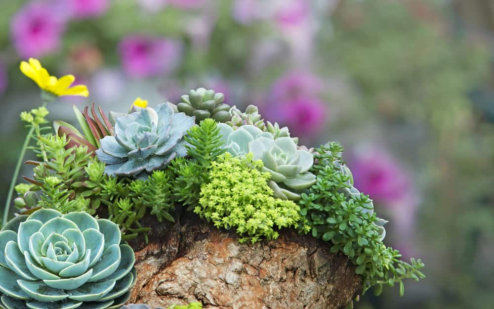 Tiny succulent garden planted on top of stump.