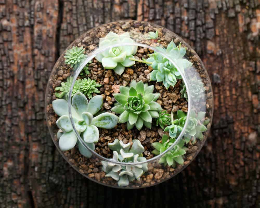 Top-down view of small succulent terrarium with light brown stones.