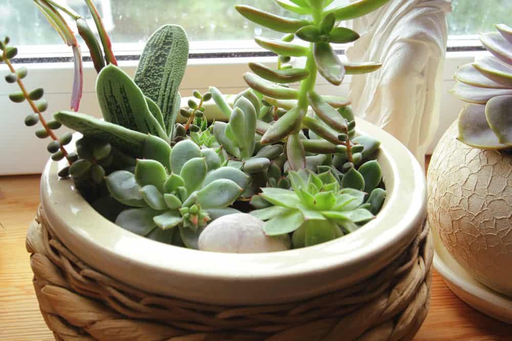 Indoor potted succulent garden next to a window.