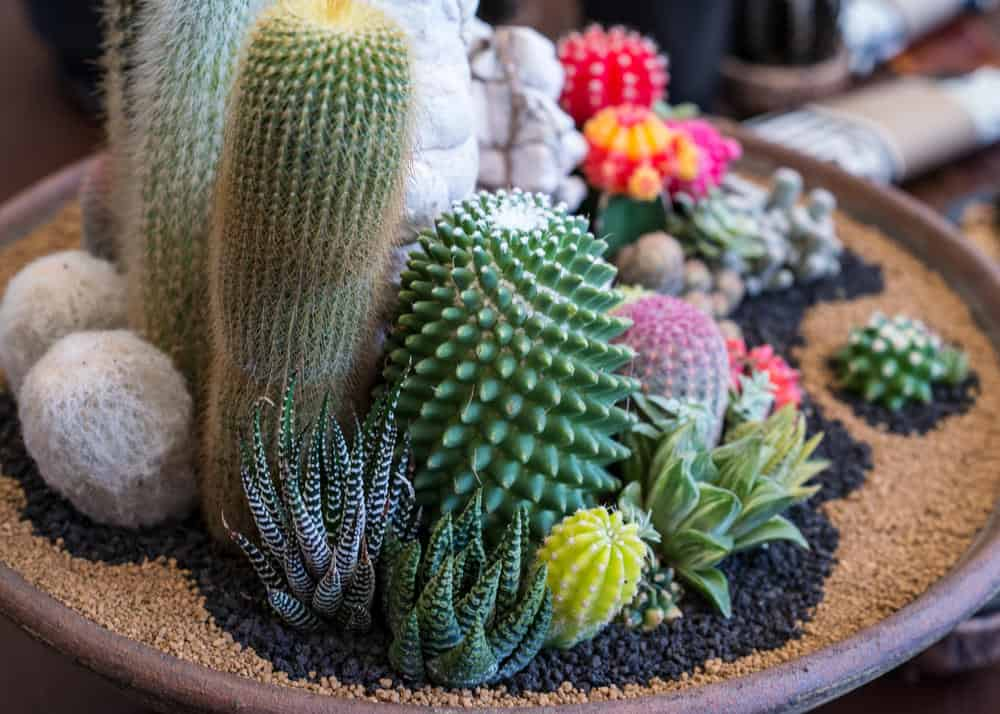 Artistic cacti garden in pot with finely crushed red and black rock.