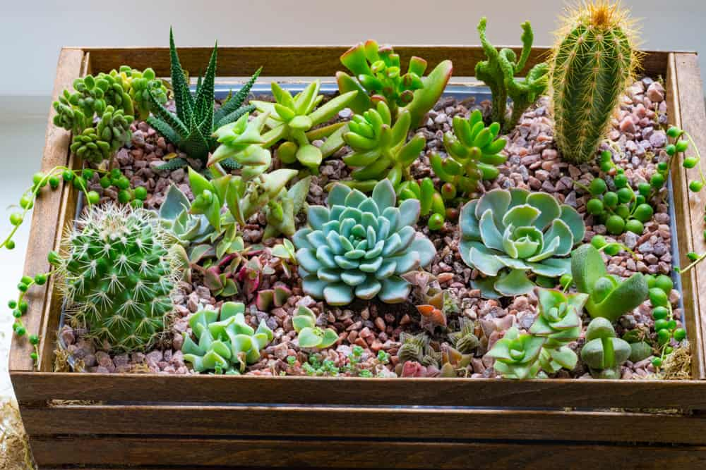 Succulent garden with red rock in large rectangle wood planter box.
