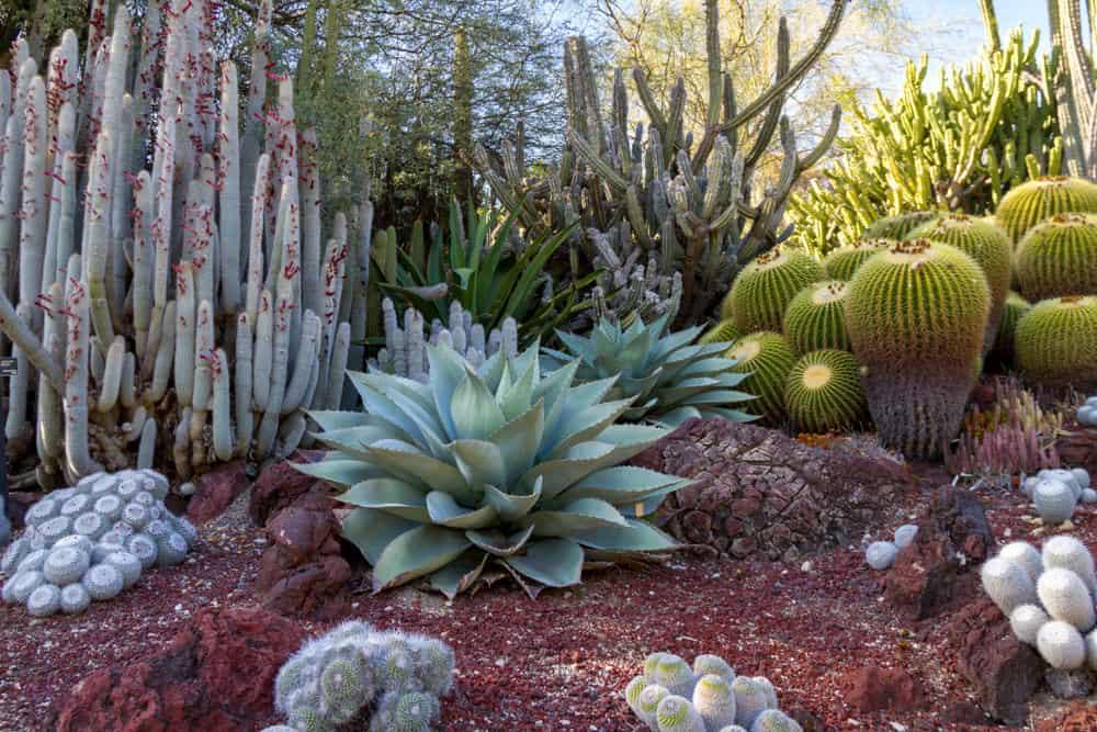 Massive cacti and succulent garden on large sloping hill in desert landscape.