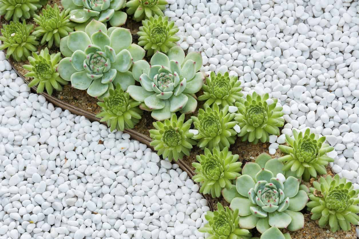 Stunning miniature narrow green succulent garden surrounded by white pebbles.