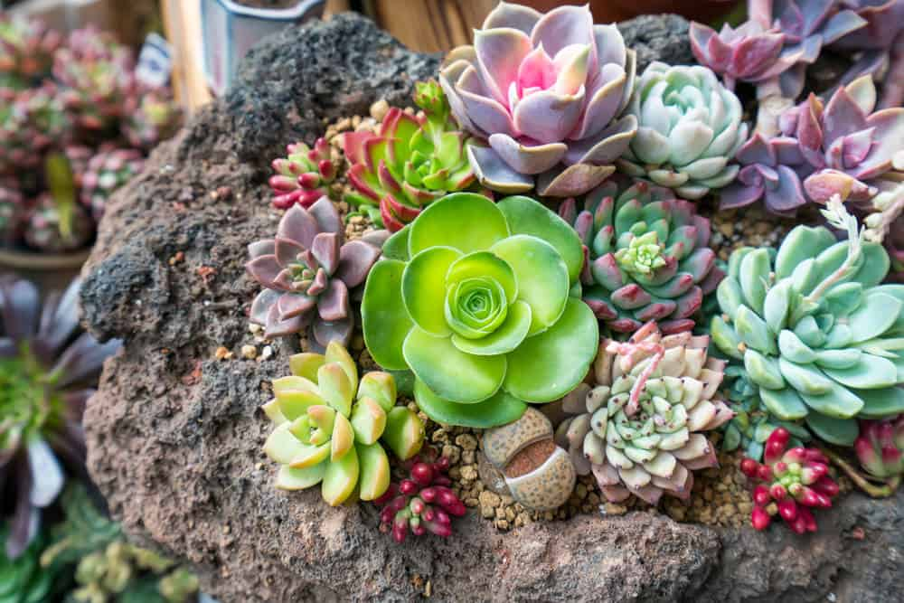 Succulents planted and growing out of a large rock planter.