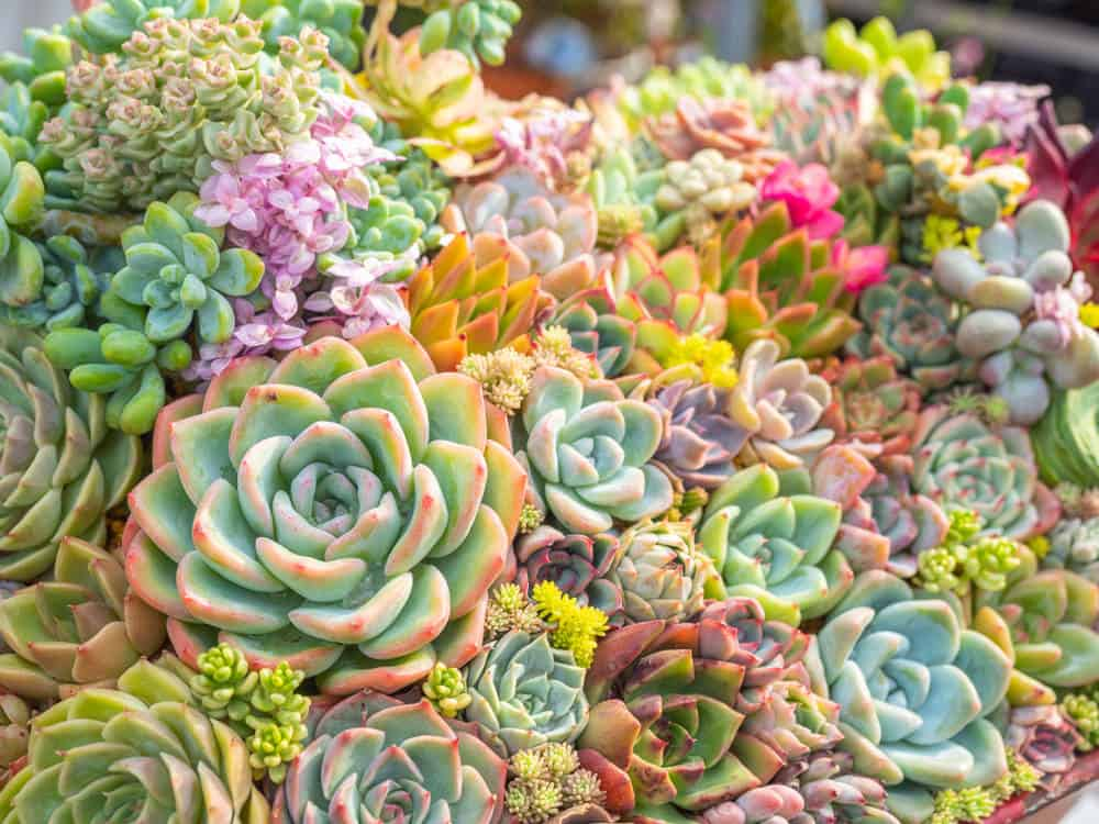 Close-up of beautiful miniature and colorful succulents tightly bunched together creating a succulent bouquet.