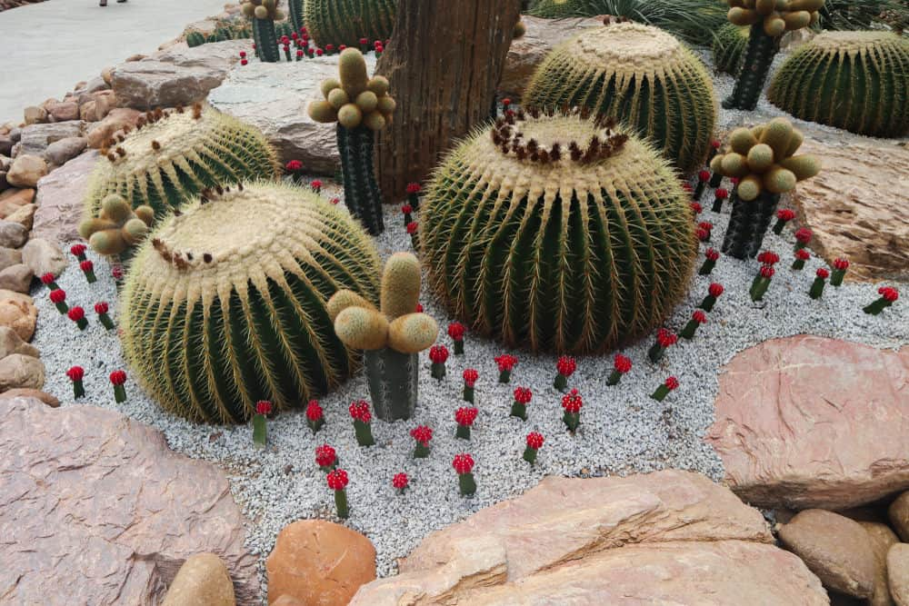Manicured cacti garden surrounded by large boulders.