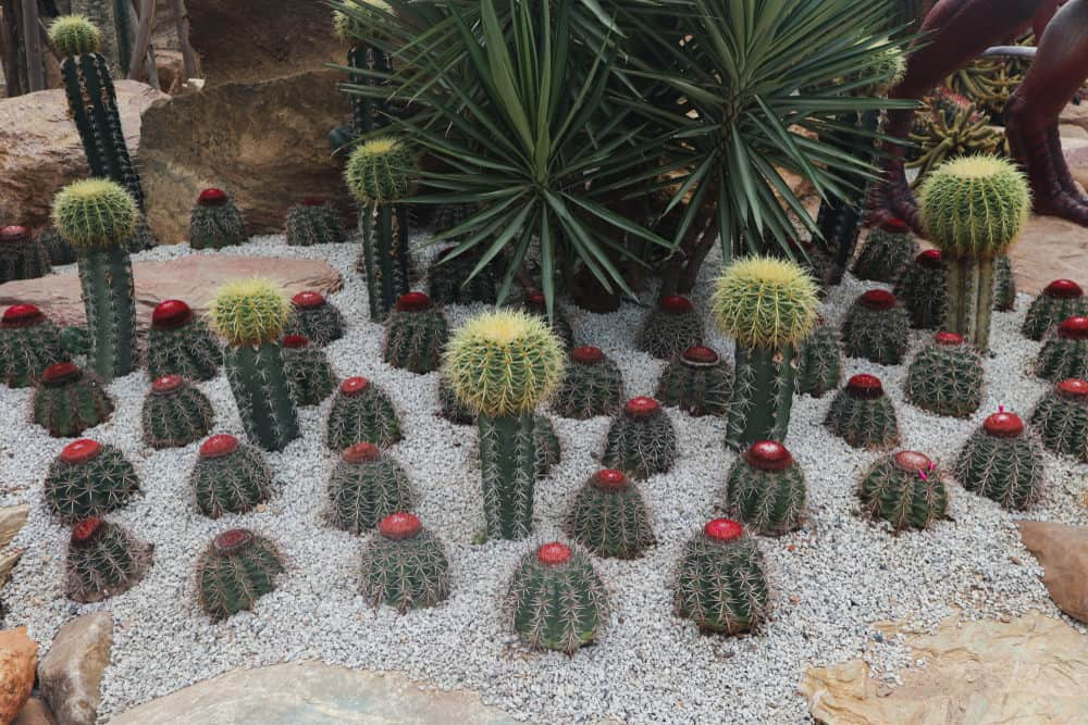 Close-up photo of green and red cacti on crushed gray stone.