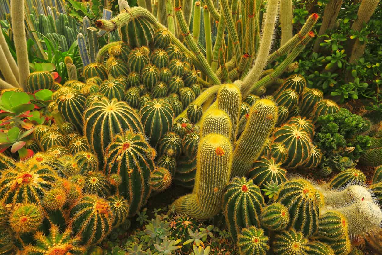 Cactus foliage garden - Large group of green and colorful cacti in the desert of Aruba countryside.