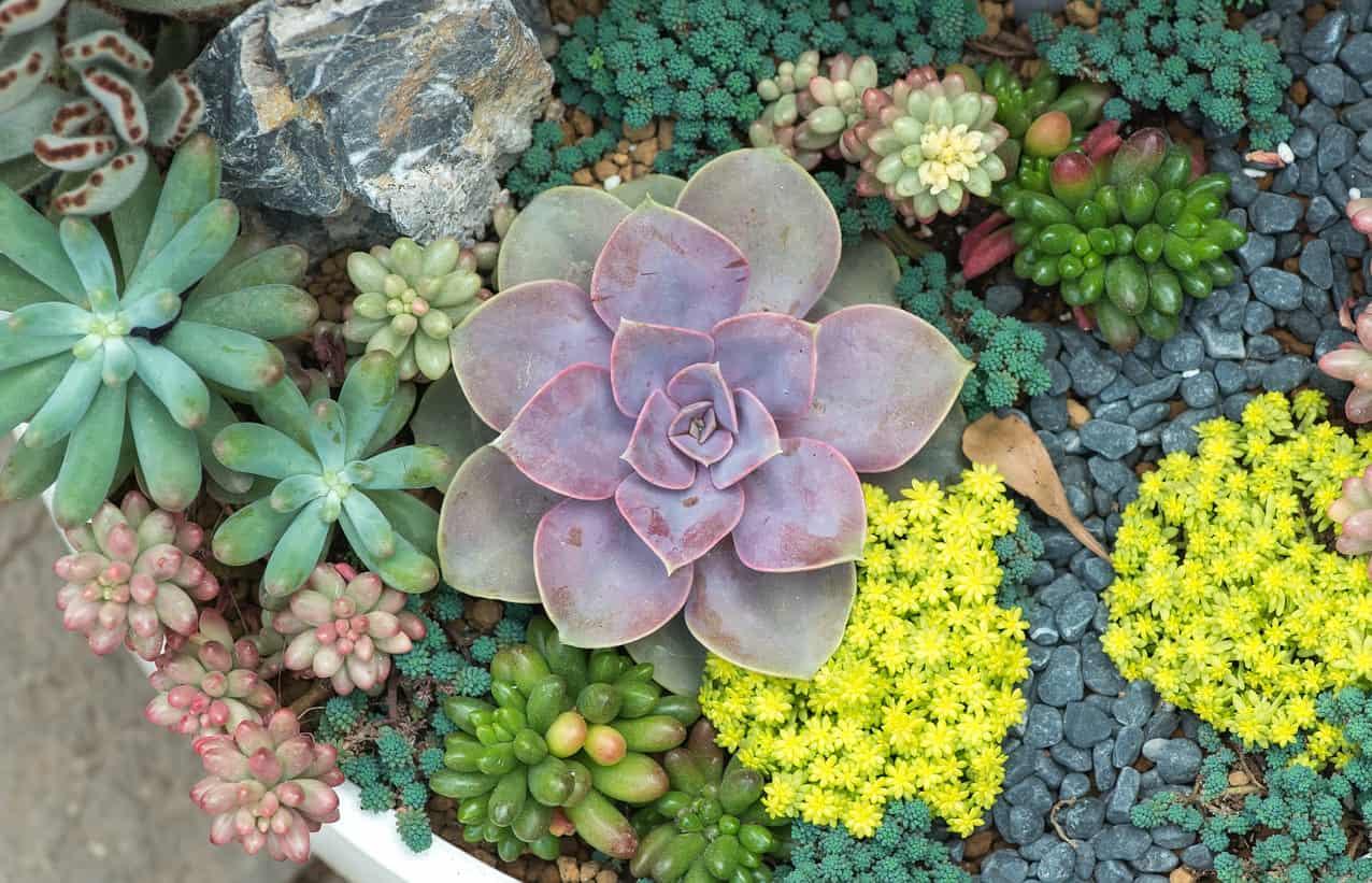 Close up photo of miniature succulent plants in a large white pot.