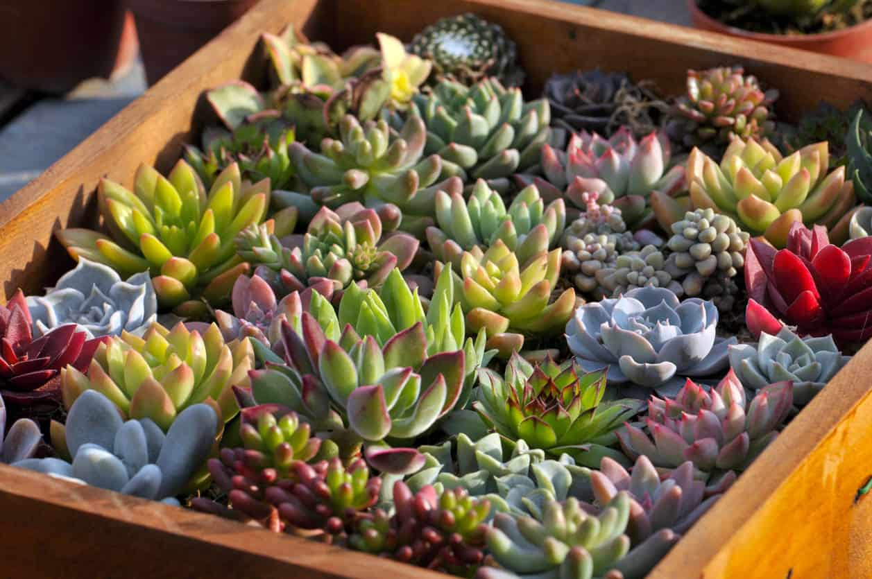 Arrangement of multi-colored miniature succulents in wood planter.