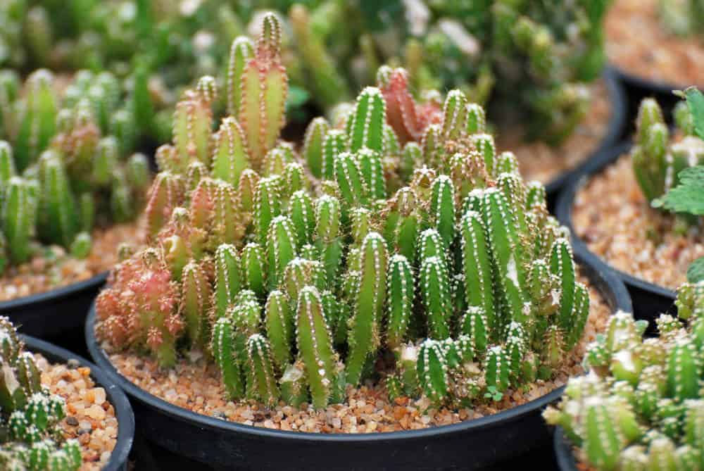 Acanthocereus tetragonus 'Fairy Castle' photo example