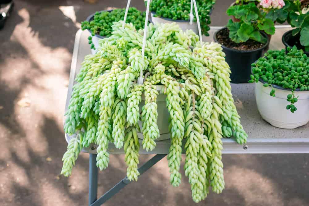 Sedum morganianum 'Burrito' hanging succulent example