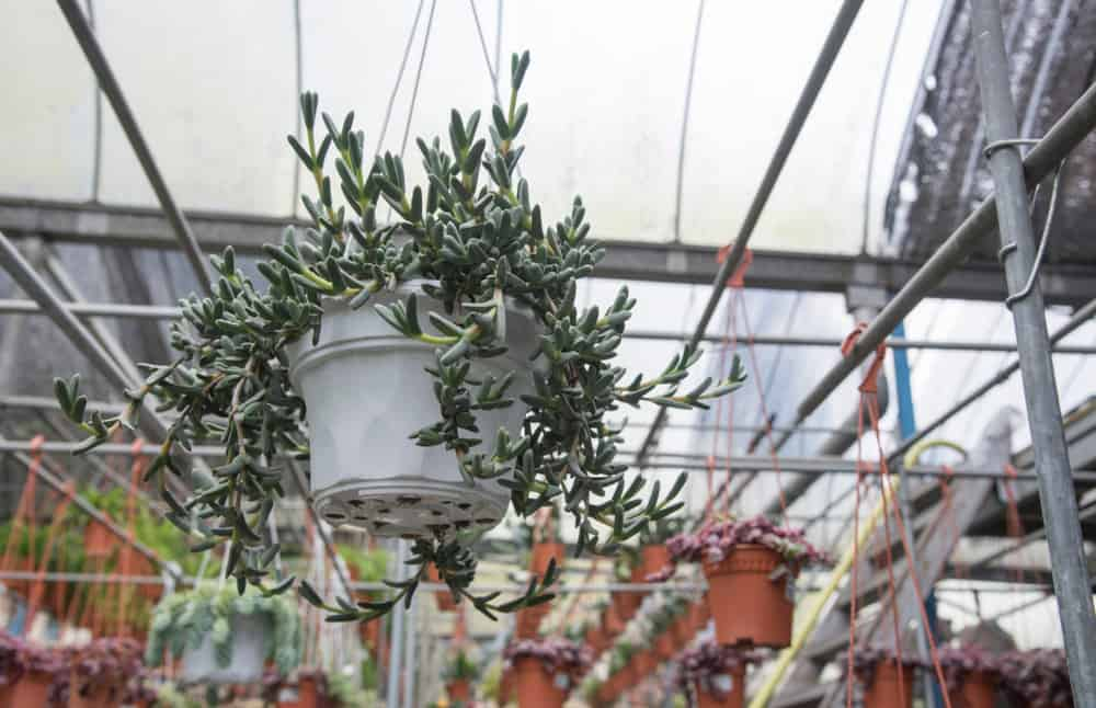 Othonna capensis hanging succulent