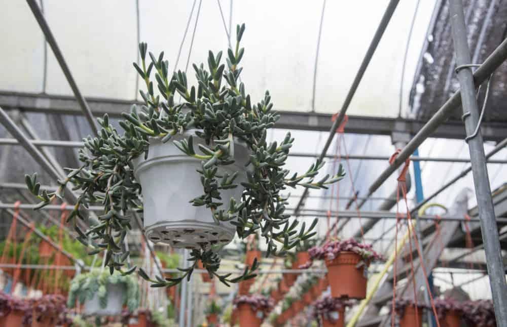 Othonna capensis hanging succulent
