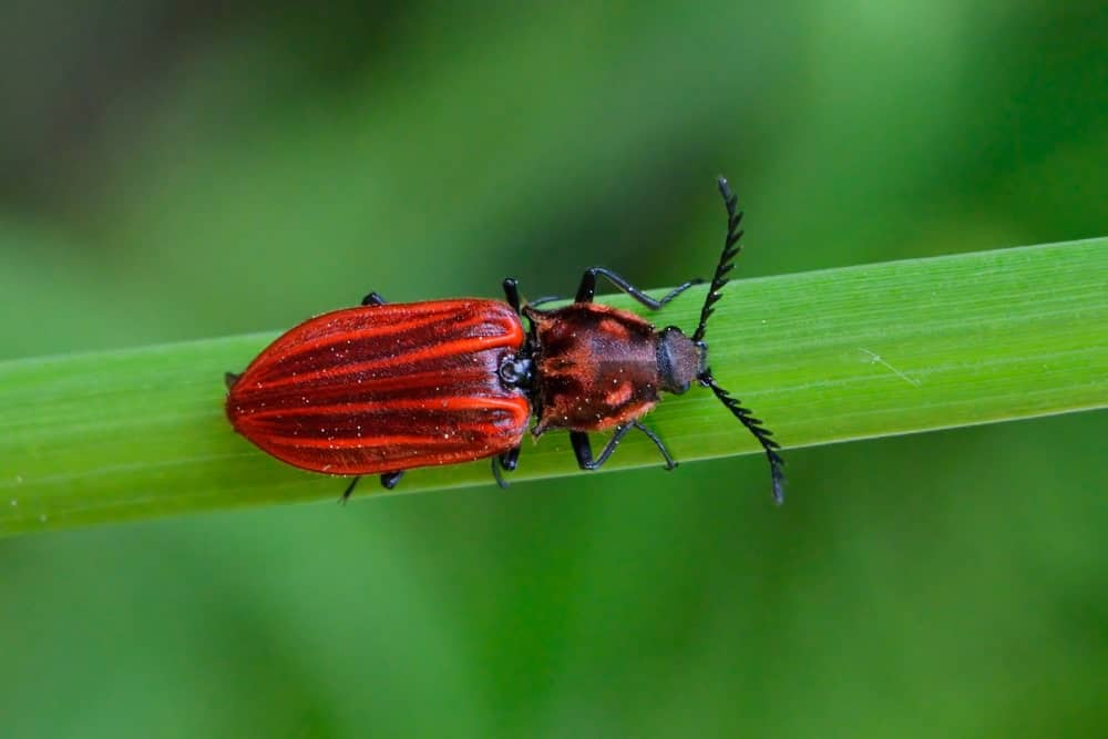 A Click Beetle in the Wild