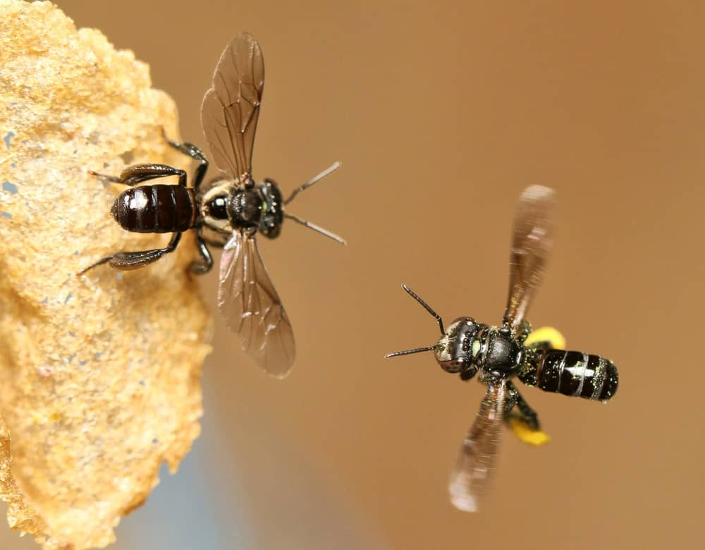 Two Stingless Bees
