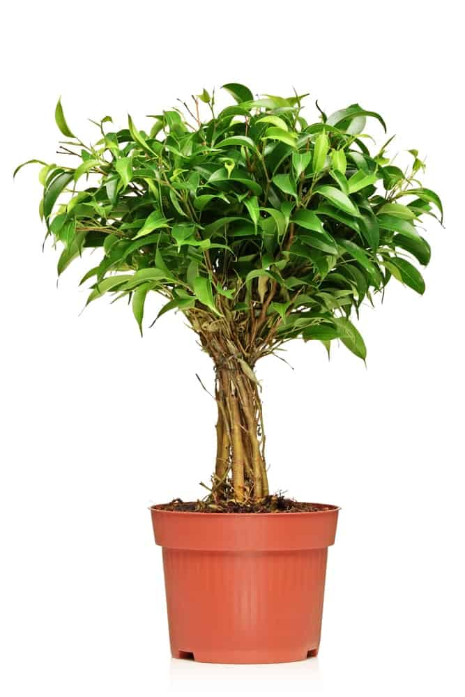 A glossy F.benjamina plant, plotted in a brown pot.